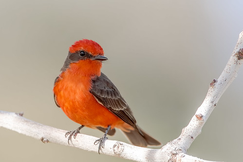 vermillion flycatcher bird bokeh beyondbokeh beak black branch 5dmarkiv canon color common explore eos explored sky sigma 150600mm ngc flickrelite flight tucson tail talons tree twig arizona wing stick red fly view gray eyeball unitedstates park plant