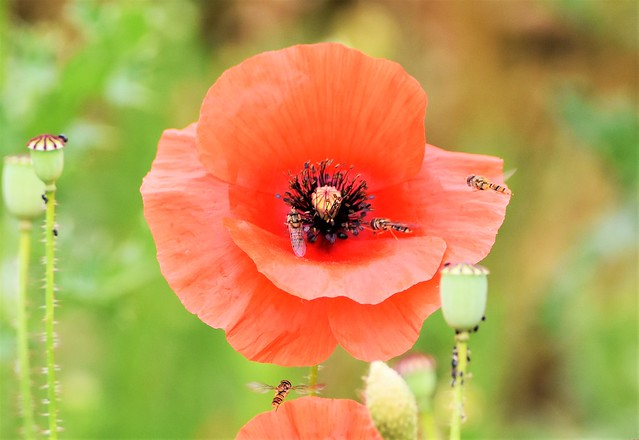 Homing in on the Poppy.