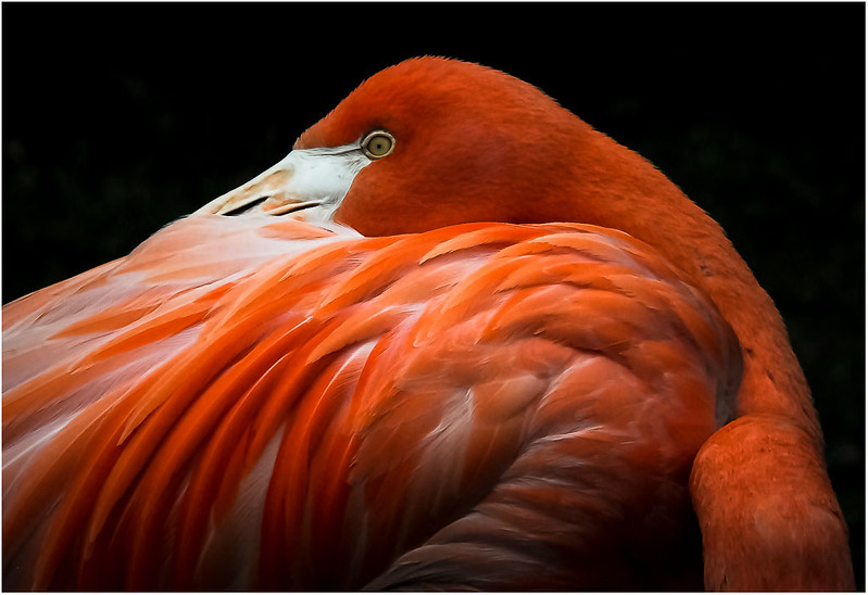 2017 Image of the Year - Flamingo - by Gary Saunders