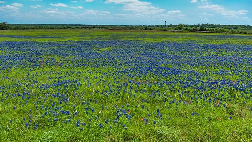 texas texaswildflowers wildflower bluebonnents houston brazosriver spring indianpaintbrushes meadows clouds pastures nikon d800e