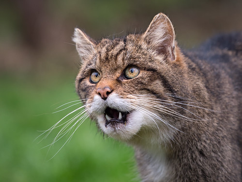 Scottish wildcat | by susie2778