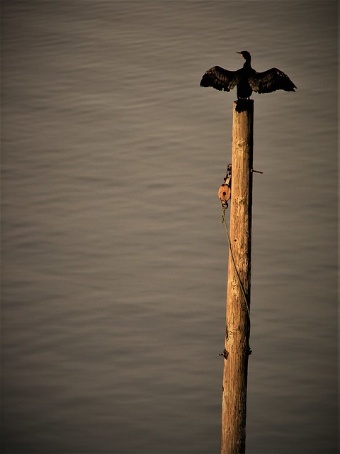 Could be a Totem (Cormorant Drying Wings)
