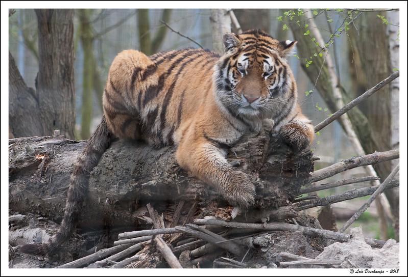 Le tigre de Sibérie