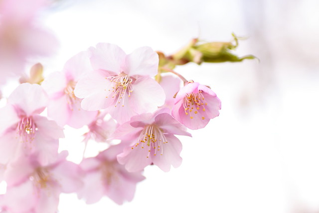 Early-bloom cherry blossoms Ryuganbuchi