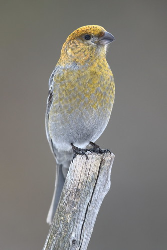 Pine grosbeak (female) | by punajalkahaukka