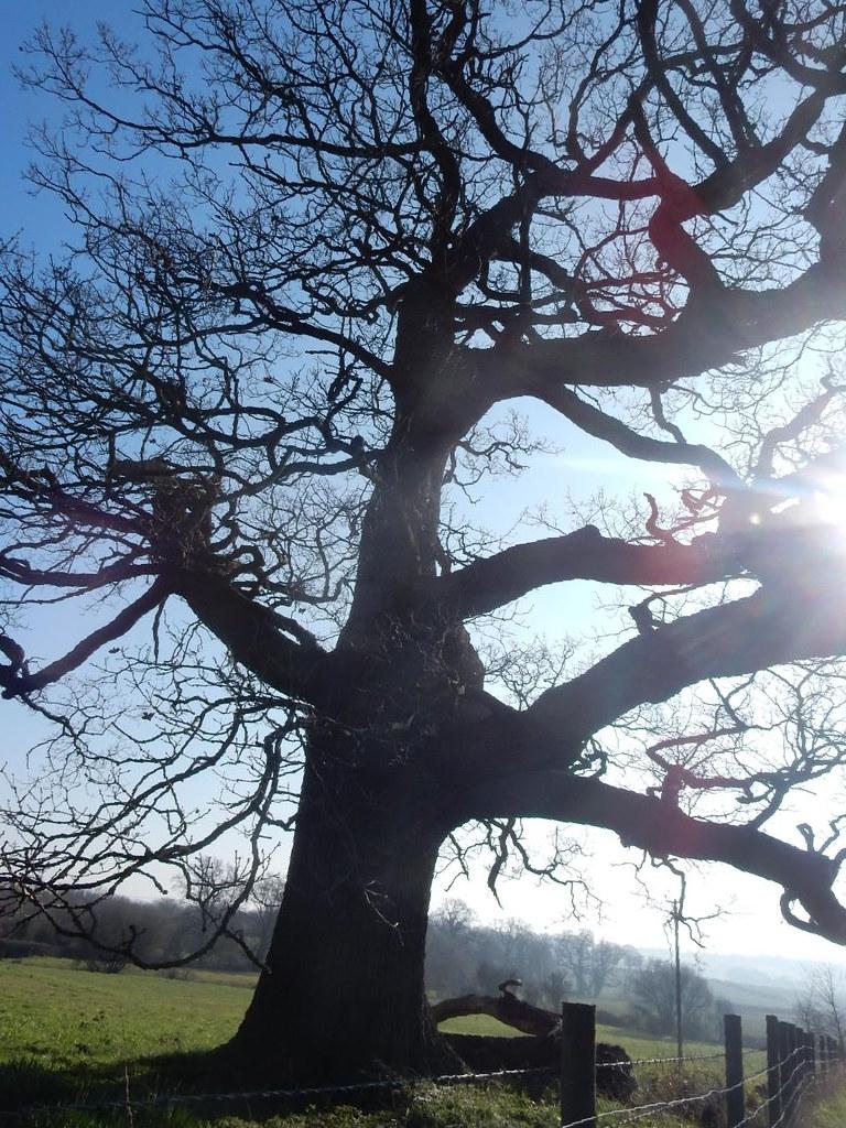 Big old oak Wanborough to Godalming