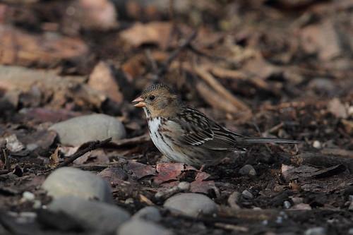 bird harrisssparrow yakimaareaarboretum yakimacounty washingtonstate zonotrichiaquerula