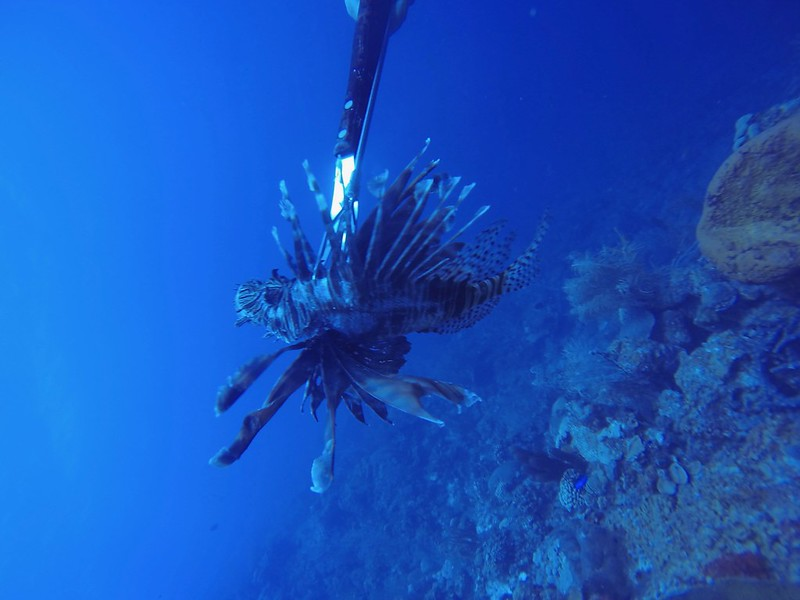 B-Feb 6th 2014 Bonaire Lion Fish Gooodive Go Pro Photos 23
