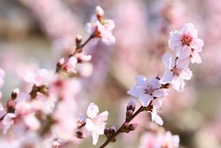 桃 ? 桜 ?