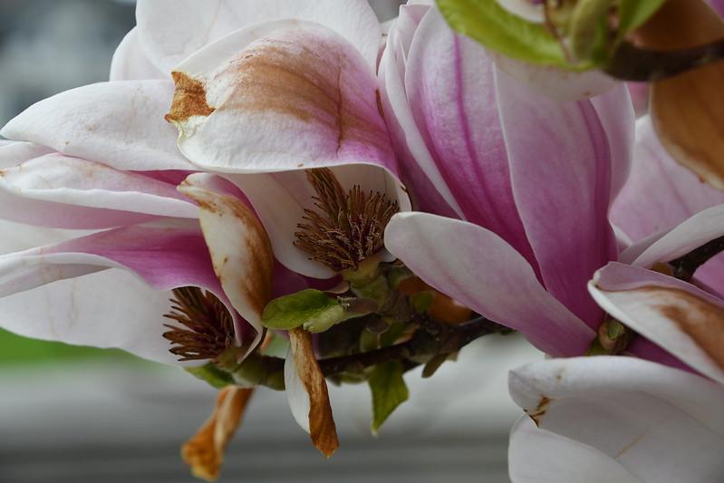 Magnolia 11.04 (5)