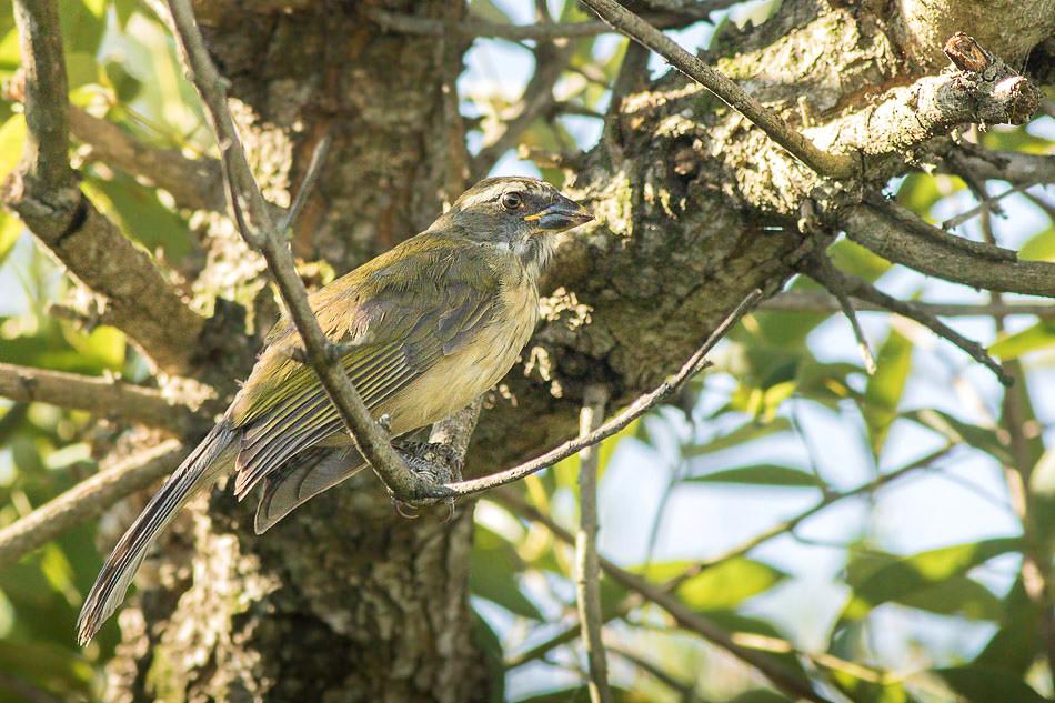 Pepitero Verdoso - Saltator similis  - Green-winged Saltator