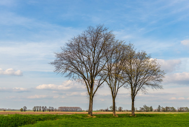 Three tall bare trees in a row