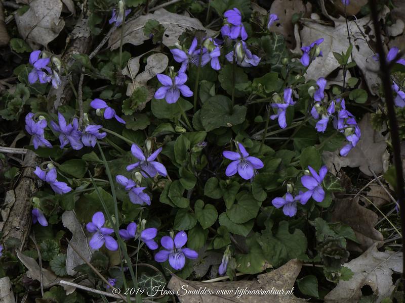 Witsporig bosviooltje (Viola riviniana)-619_1584