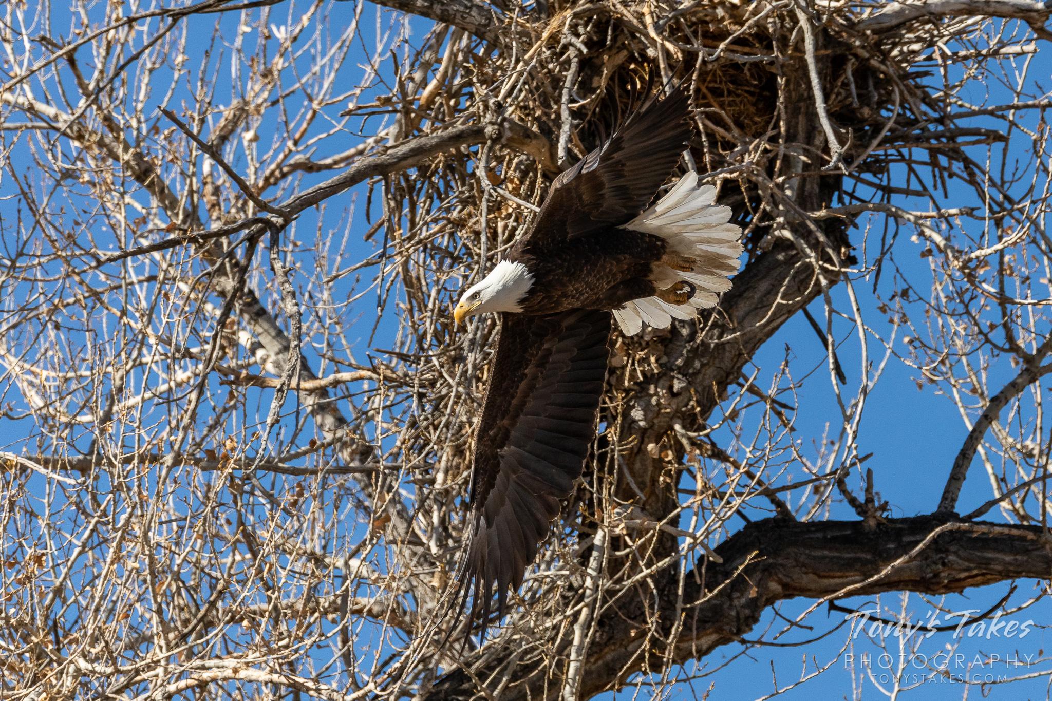 Bald eagle departs its nest site