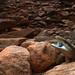 Common Blue-tongue (Tiliqua scincoides)