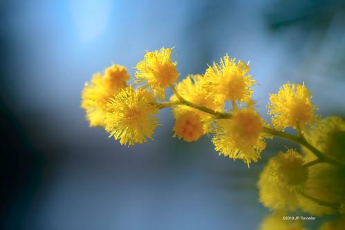 Mimosa toulousain