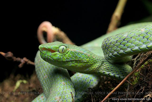 IMG_5297-1 (W) Close-up Hagen's Pit Viper (Trimeresurus hageni)  I found last night
