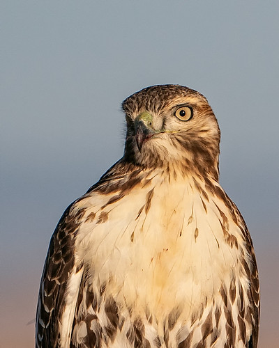 Hawk Portrait #3 | by lennycarl08