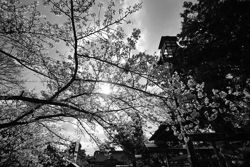 03-04-2019 Tonda, Takatsuki, Osaka pref (13)
