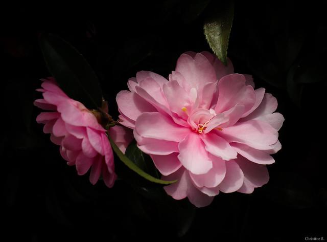 pink sasanqua camellias