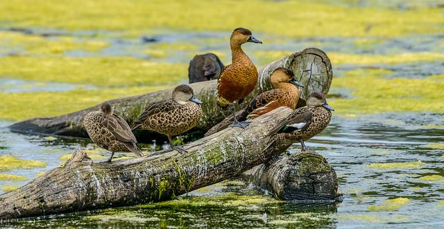 One Legged Ducks on a Log