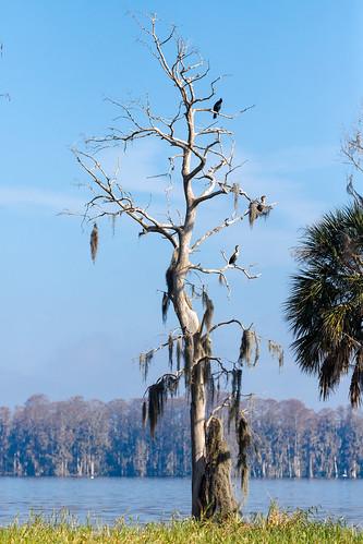 lakeland florida unitedstatesofamerica us cormorants cormorant birds trees tree cbbr circlebbarreserve lakehancock lakes lake lakeshore lakeshores anhinga ngc