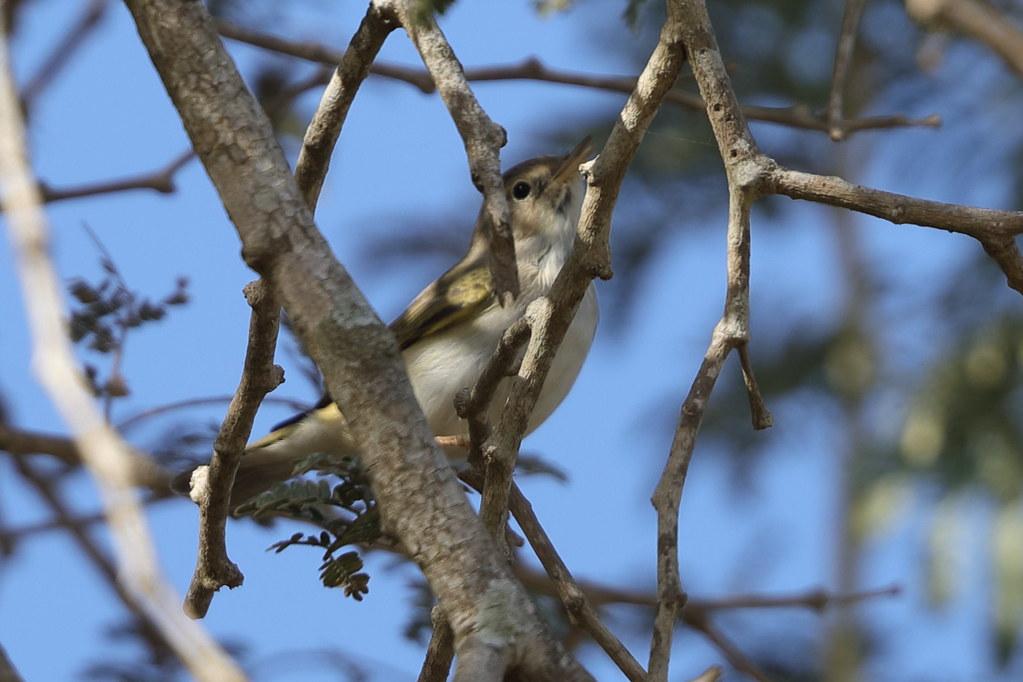 Western Bonelli's Warbler  Phylloscopus bonelli