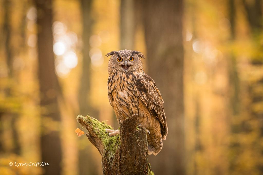 Eurasian Eagle Owl D85_6627.jpg