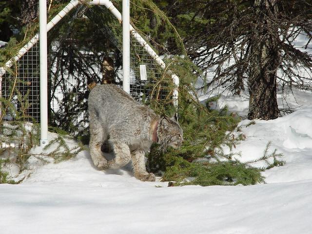 Canada Lynx near a tree