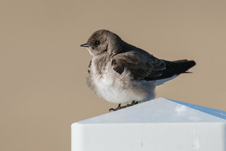 Northern Rough-winged Swallow (Stelgidopteryx serripennis) | by byjcb