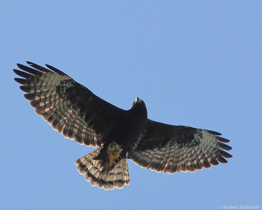 Short-tailed Hawk (Buteo brachyurus)