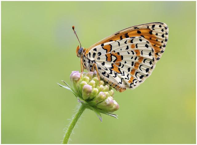 Spotted Fritillary - Melitaea didyma.