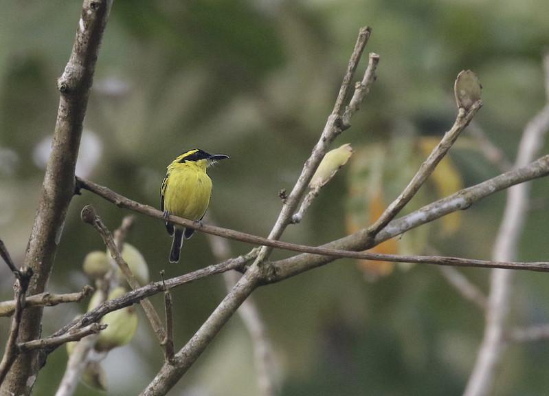 Yellow-browed Tody-Flycatcher, Todirostrum chrysocrotaphum Ascanio_Amazon Cruise 199A8159