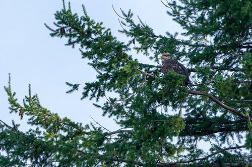 comox comoxvalley vancouverisland bc britishcolumbia canada sony sonya7r3 sony70200gm a7r3 tree trees sky eagle wildlifephotography wildlife