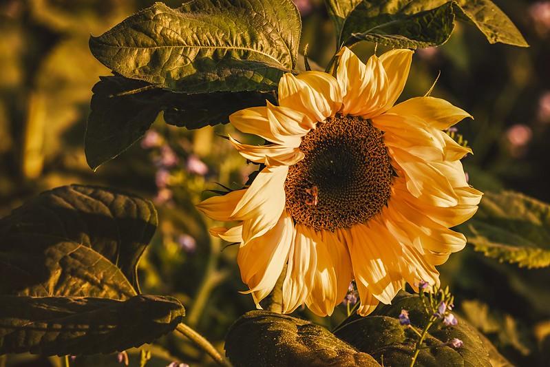 Обои цветок, листья, свет, подсолнух, подсолнечник картинки на рабочий стол, раздел цветы - скачать