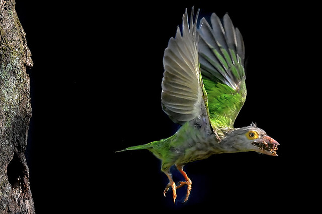 s 20190325_Lineated Barbet_DSC_0432