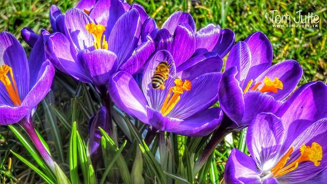 Bee in spring flowers, Zutphen, Netherlands - 3313