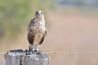 Brown Falcon ( this shot was taken from the back seat of the car ) | by friendsintheair