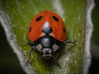 7-spot Ladybird | by Aves Lux
