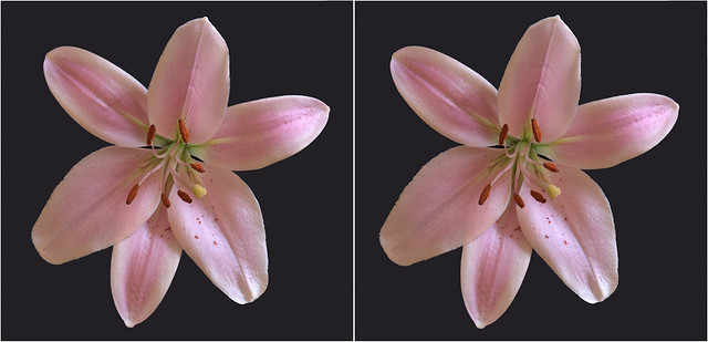 Lily -pink on black - (1) -stereo cross-view