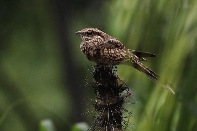 Ladder-tailed Nightjar, Hydropsalis climacocerca Ascanio_Amazon Cruise 199A8435