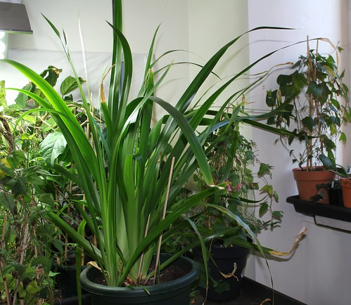 Neomarica gracilis - Page 3 47405524102_e9ca081a5e