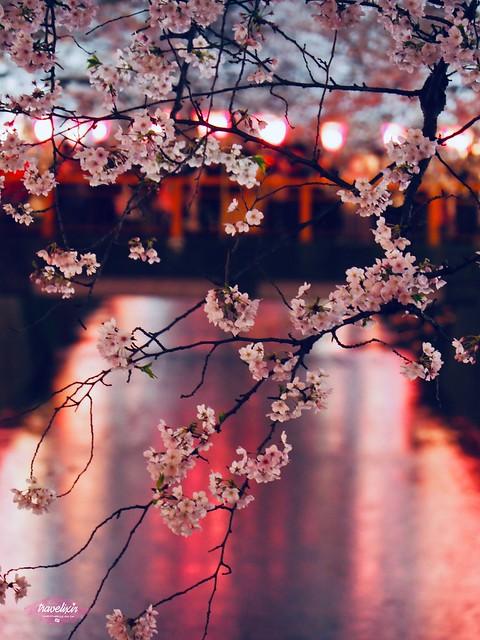 目黑川的櫻