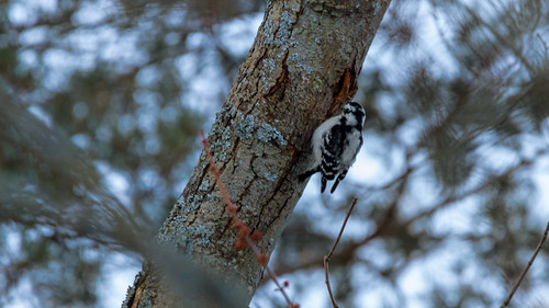 Woodpecker   by Michael A. Garstin