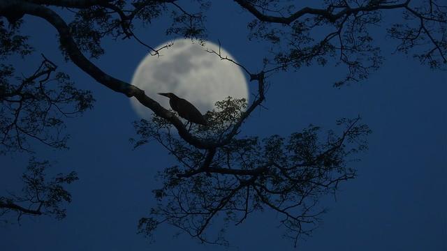 At the moonlight - Pantanal Ilusion