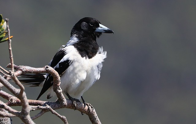 Pied Butcherbird-Trial Bay 241018 (6)