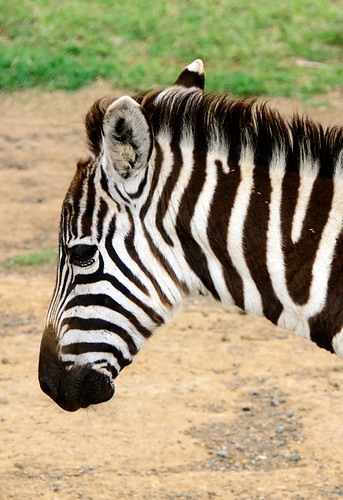 kenya karagitaplains riftvalley zebra equusquagga equusburchellii burchellszebra