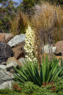 Lily of the Valley Shrub, Ulladulla, AU