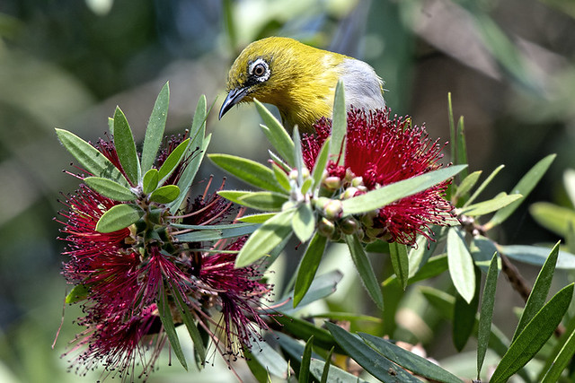 th.doi ang.oriental white eye.7391