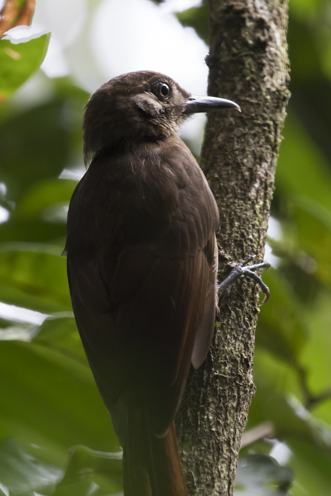 Dendrocincla fuliginosa / Plain-brown Woodcreeper